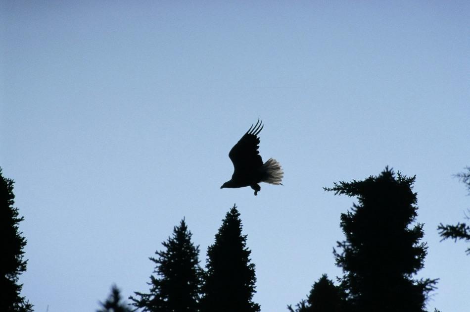 Bald Eagle in Wabikimi © Dale Shaw 2003